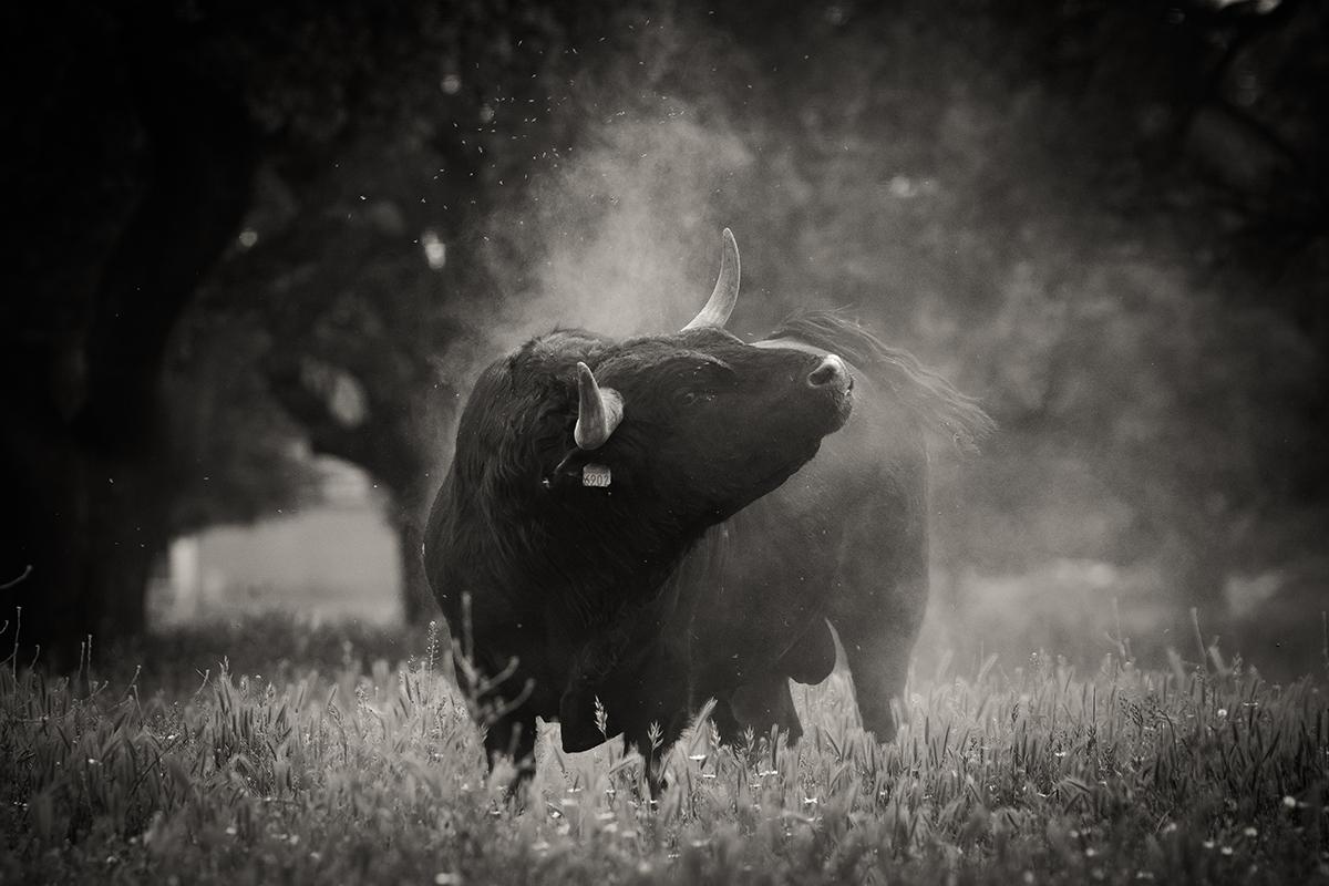 Toro ganaderia Barcial 2018©William LUCAS redim