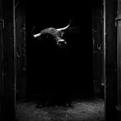 Toro Ganaderia Macua 2015©William LUCAS (2)