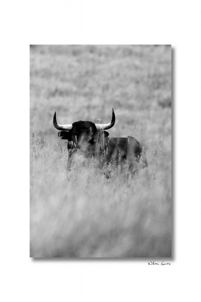 toro-camino-de-santiago-2013-william-lucas-1.jpg